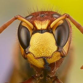 Hornet by Sergio Frada - Animals Insects & Spiders ( portrait hornet )