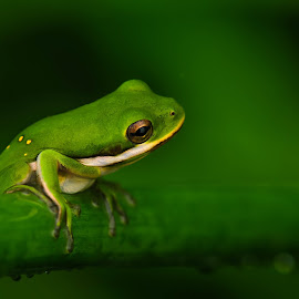 Green Frog by Nature's Realm - Animals Amphibians ( animals, amphibina, nature, frog, green, wildlife,  )