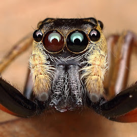 Jumping spider. by Simon Lai - Animals Insects & Spiders