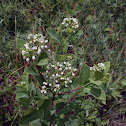 Indian Hemp, Dogbane