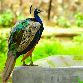 Beauty! by (GG) Girinath G - Animals Other ( bird, nature, wildlife, nikon, lens, photography, peacock )