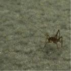 Carpet Grasshopper