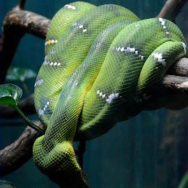 Green Tree Boa by Robert Briggs - Animals Reptiles ( serpent, snake, constrictor, boa, wildlife, green tree boa )