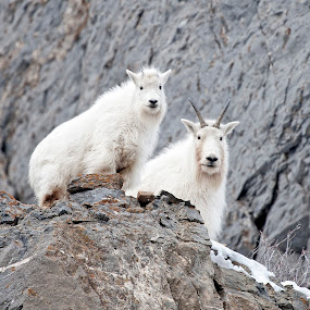 Mountain Goats  by Cody Hoagland - Animals Other Mammals ( goats, mountain, utah )