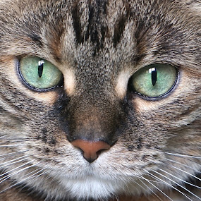 Ruby the Cat by Jim Czech - Animals - Cats Portraits ( cats, cat, furry, fur, tabby, eyes,  )