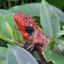 Oriental garden lizard 變色樹蜥