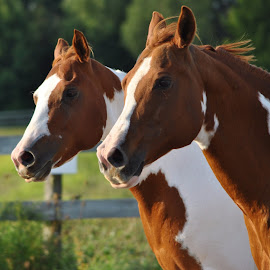 Judy and Tia; twin movement  by Jordy O'Connor - Animals Horses ( mares, paint horse, equine, photo, photography )