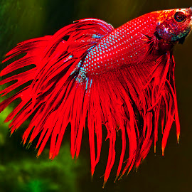 Siamese fighting fish by David Winchester - Animals Fish
