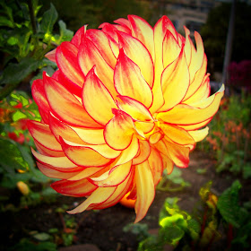 FLOWER- DAHLIA ON FIRE.jpg