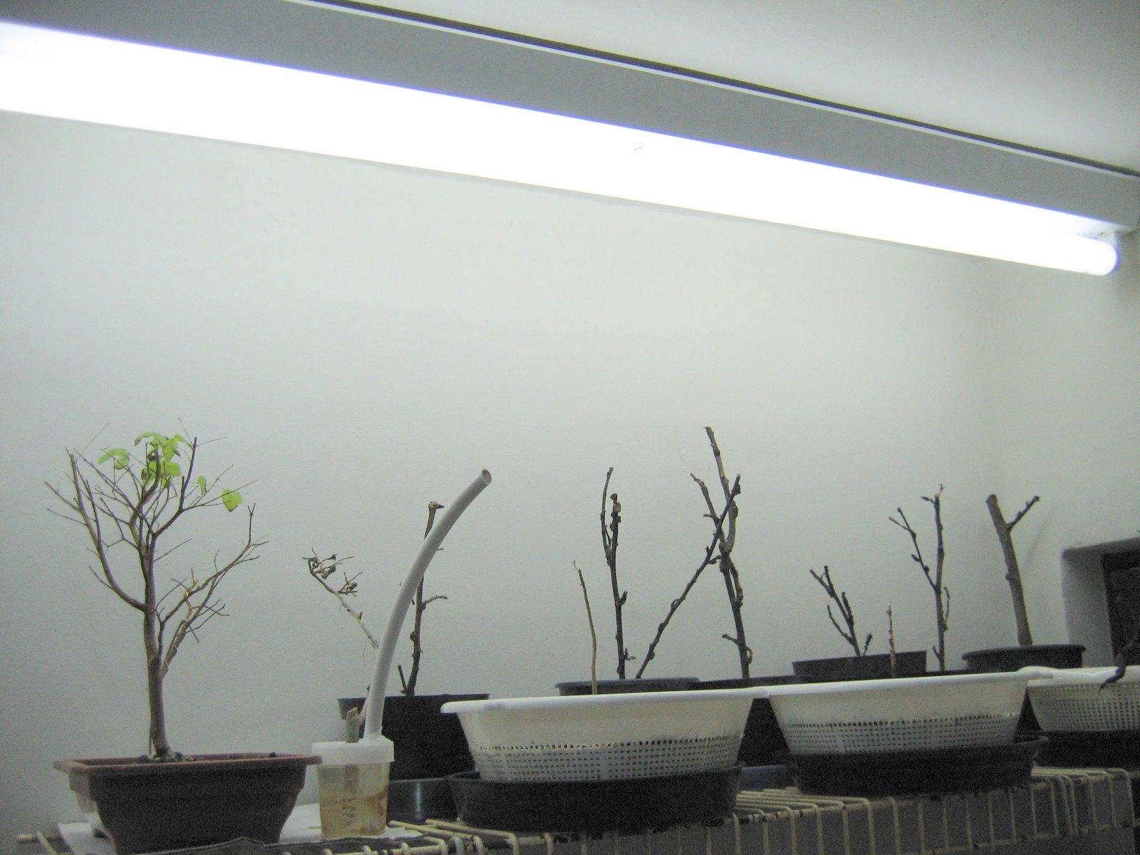 Ricardo san bonsai blog como cultivar bonsai sob luz - Como cultivar bonsai ...