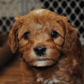 Cockapoo 2 by Gary Aidekman - Animals - Dogs Puppies ( baby, young, animal, #GARYFONGPETS, #SHOWUSYOURPETS,  )