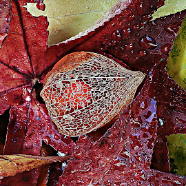 Prelude To Splendor Of Nature by Marija Jilek - Nature Up Close Other plants ( water, physalis alkekeni, nature, lace lantern, prelude, splendor, drops, plants, leaves )