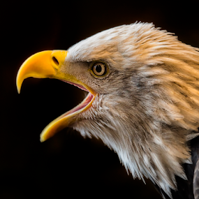 Scream For Freedom by Bill Tiepelman - Animals Birds ( bird, eagle, bird of prey, nature, patriotic, bald eagle, eagles,  )