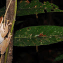 Common Bromeliad Treefrog