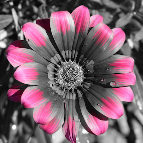 Selective Color by Ed Hanson - Flowers Single Flower ( b&w, nature, color, close-up, flower )