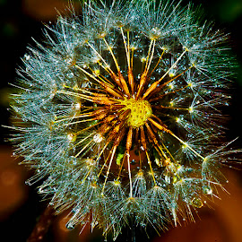 dandelion seed head by David Winchester - Nature Up Close Other plants