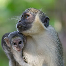 A very proud Mum by Steve Dormer - Animals Other Mammals ( gambia, nature photography, wild life photography, monkey )
