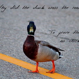 Duck by Dipali S - Typography Captioned Photos ( text, font, duck, road, typography, photo, captioned,  )