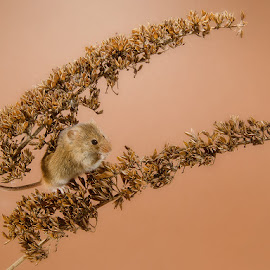 havest mouse on buddleia by Paul Hudson - Animals Other Mammals ( mouse, havest, buddliea )