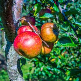 Apple by Štefan Brajković - Nature Up Close Other plants ( apple, croatia, bjelovar-bilogora county, bjelovar )