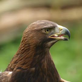 Oakham eagle 1 by Garry Chisholm - Animals Birds ( eagle, raptor, chisholm, golden, garry )