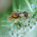 Jagged ambush bug