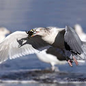 Herring Gull (flying away with a crab)