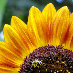 Big Sunflower, little bee by ChrisTina Shaskus - Flowers Single Flower (  )
