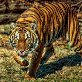 On the Prowl by Carol Plummer - Animals Lions, Tigers & Big Cats (  )