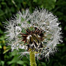 Dazzling Beauty by Marija Jilek - Nature Up Close Other plants ( dandelion, nature, plants, seeds, beauty, stem, waterdrops )