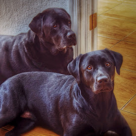Mt Girls... Roxanne and Josie by Mark Ayers-Stebenne - Animals - Dogs Portraits ( dogs, home security, best pets, my kids have 4 paws, black labrador,  )