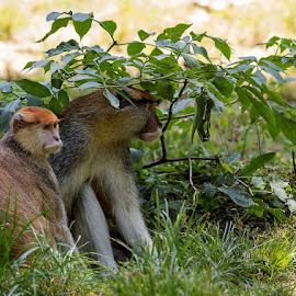 Where is our Son? by Viorel Stanciu - Animals Other Mammals ( wild animal, mammals, animals, monkeys, wildlife, couple )