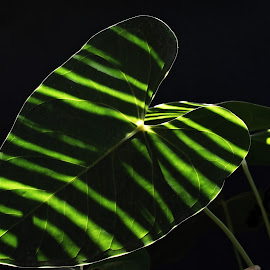 Shadow Play by Ashok Borkakoti - Nature Up Close Leaves & Grasses ( anthurium, pattern, green, shadow, leaf, stripes, black, close-up,  )