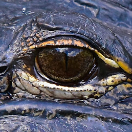 The Eye Has It by Steven Aicinena - Animals Reptiles ( alligator, eye )