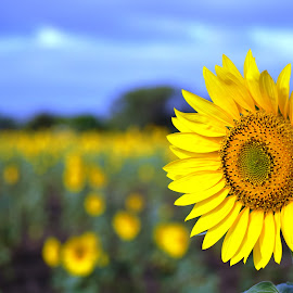 Sunflower by Akhil Munjal - Flowers Single Flower ( sunflower,  )