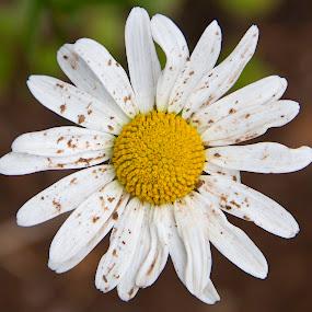Dirty Flower by Malcolm Duke - Flowers Single Flower ( dust, white, dirty, yellow, flower,  )