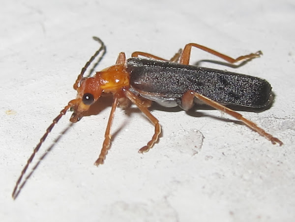 soldier beetle project noah