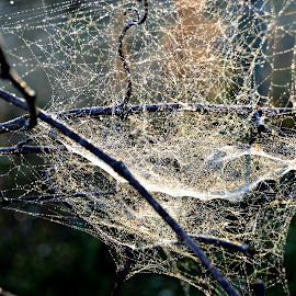 Webbed  by Erin Nealeigh - Nature Up Close Hives & Nests ( #spiderweb #nature #web #morningdew #yuck,  )