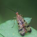 Scorpionfly, female