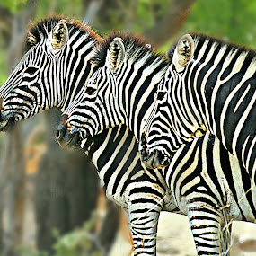 Zebra Trio by Pieter J de Villiers - Animals Other ( mammals, animals, line-up, other, kruger national park, trio, south-africa, portrait, zebras )