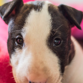 Puppy Love by Chanette Grobler - Animals - Dogs Puppies ( sweet, bull terrier, puppy, dog, eyes,  )