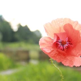 by Camelia Cami - Flowers Single Flower (  )