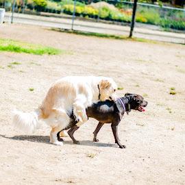 hump by Angelo Perrino - Animals - Dogs Playing