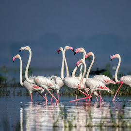 The White Beauties...Flamingos by Saurabh Tamhankar - Animals Birds ( nature, flamingo, landscape )