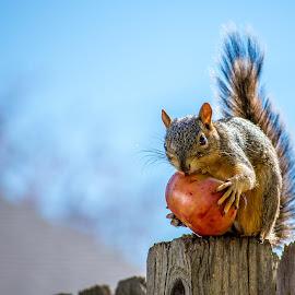 Squirrel Salsa by Coleen Sullivan - Animals Other Mammals ( fence, red, nature, tomato, blue, backyard, garden, squirrel, animal )