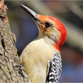 Woodpecker in Residence by Dennis Ba - Animals Birds ( woodpecker )