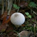 Gem-studded Puffball