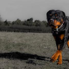 Rottweiler by Jenny Trigg - Animals - Dogs Running ( walking, dog photography, dog, running, rottweiler )