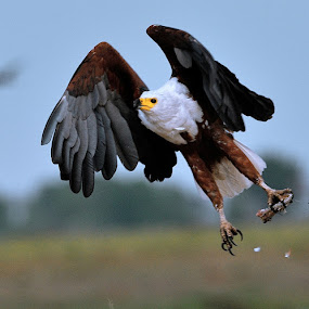 Fish eagle with food by Joss van Wyk - Animals Birds ( chobe, botswana, fish eagle, africa, kasane )