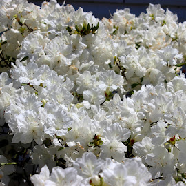 White Azalea by Christie Henderson - Novices Only Flowers & Plants ( flowers )